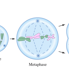 Stages Of Mitosis Diagram Labeled 1998 Ford Taurus Cooling System Phases Diagrams Wiring Process And Different In Cell Division Rh Byjus Com Blank Stage Meiosis