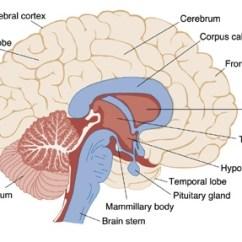Internal Brain Diagram Wiring 2005 Dodge Ram 2500 Important Bio Diagrams For Cbse Class 10 Board Exam 2018 19