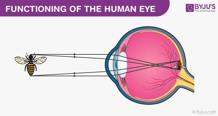 structure of human eye with diagram toyota rav4 exhaust system parts the cornea sclera lens functioning