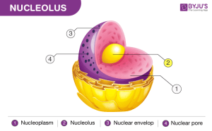Nucleolus  Function, Difference Between Nucleus & Nucleolus