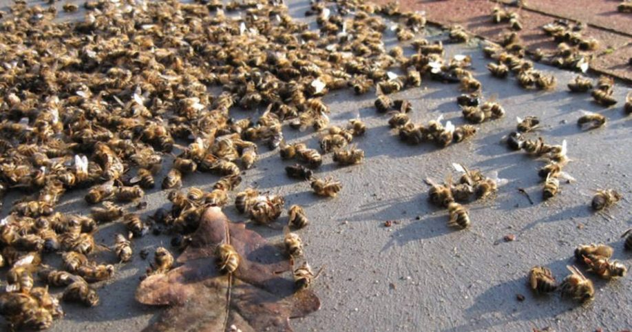 "Image result for ""Like It's Been Nuked"": Millions of Honey Bees Die Right After Aerial Spraying for Mosquitoes"