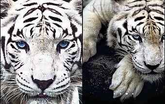 New York 3d Live Wallpaper Apk Bengal Tiger Live Wallpaper Android Animiert
