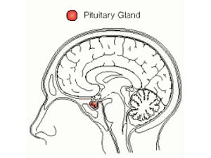 The Pituitary Gland: What It Does To Keep You Young
