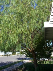 Before Pruning - California Pepper Tree