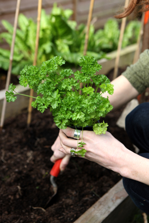 Curly parsley---I usually plant both curly and flat leaf---I like the flavor of both.