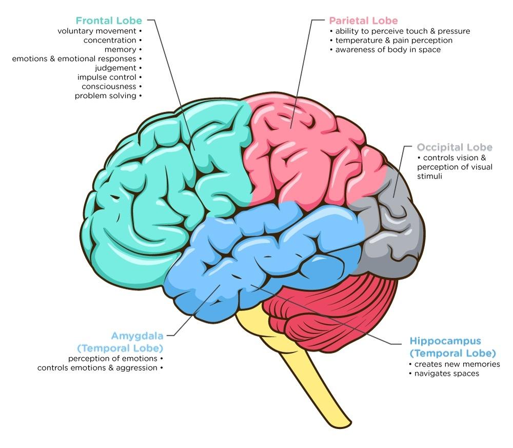 hight resolution of brain image 2 ana jpg