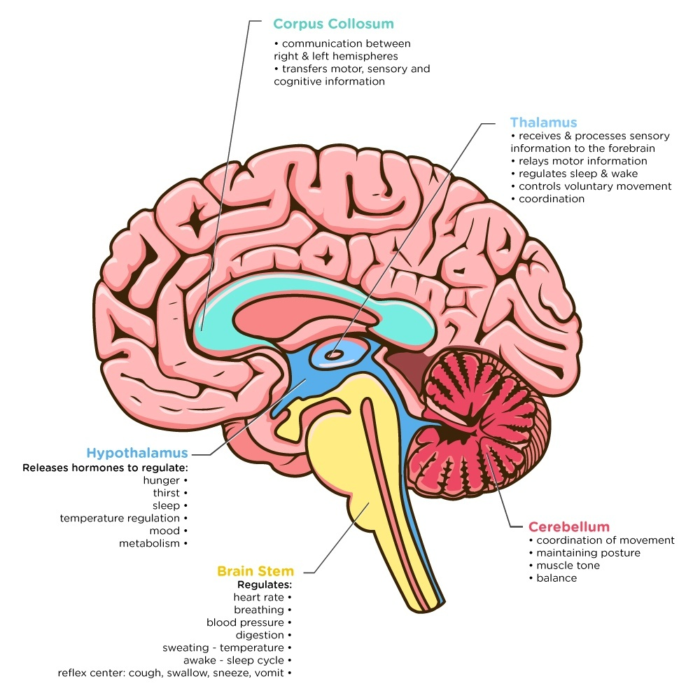 hight resolution of brain image ana jpg