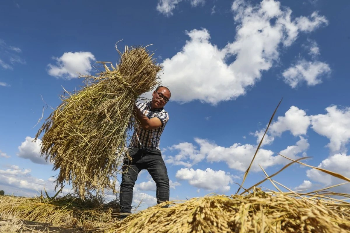 small resolution of deng hongzhi harvests rice for the black soil group in xiangshui heilongjiang province pictures