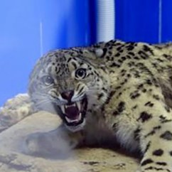 Kitchen Experts How To Create A Pantry In Small Chinese Wildlife Rescue Paralysed Snow Leopard ...