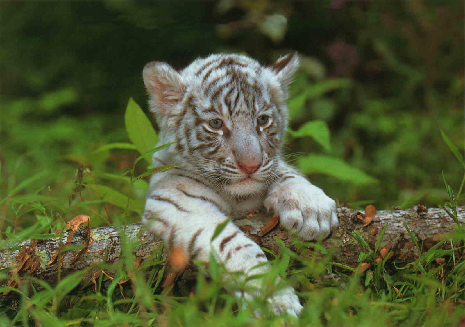 Le bb tigre  Momesnet