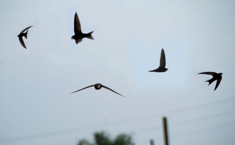 Velké černé ptáky v černých kuřatech