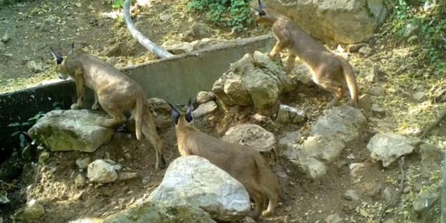 'Ormanın hayalet kedisi' karakulak Antalya'da görüntülendi - 1