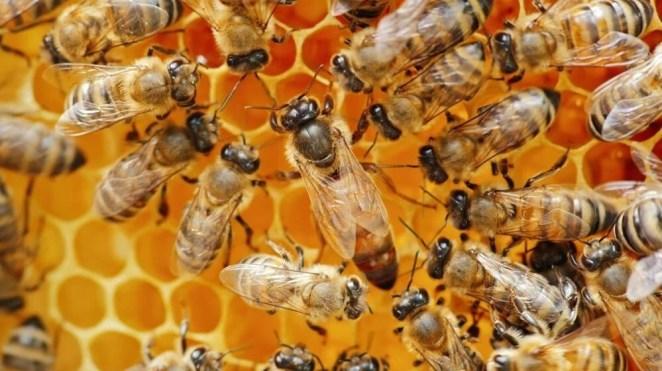Güney Afrika'da arılar arasında yeni bir hastalık yayılıyor: Topluca ölüyorlar 14