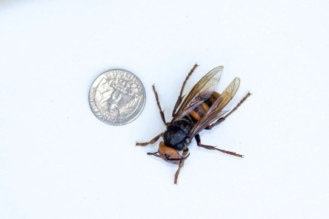 """ABD'de """"katil eşek arısı"""" endişesi sürüyor: Uzun ve zehirli bir iğneye sahip - 7"""