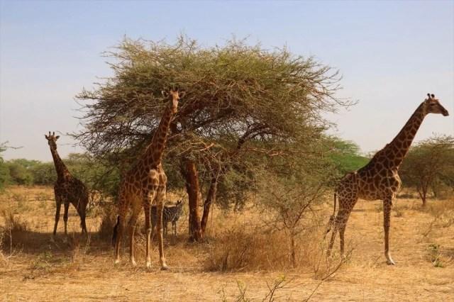 Senegal'de tehlikeli safari turu: Bu kez kafeste insanlar var - 8
