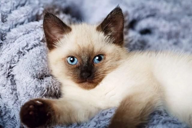 Araştırma: Bütün kedi ırkları içerisinde en saldırganı Van kedisi - 5