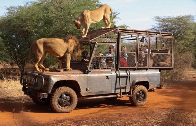 Senegal'de tehlikeli safari turu: Bu kez kafeste insanlar var - 10
