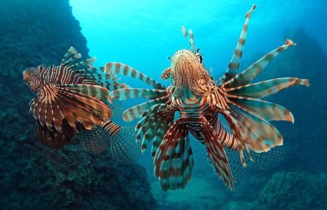 Kızıldeniz'den, Akdeniz'e göçen balık türü 65'e çıktı - 2