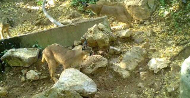 'Ormanın hayalet kedisi' karakulak Antalya'da görüntülendi - 5