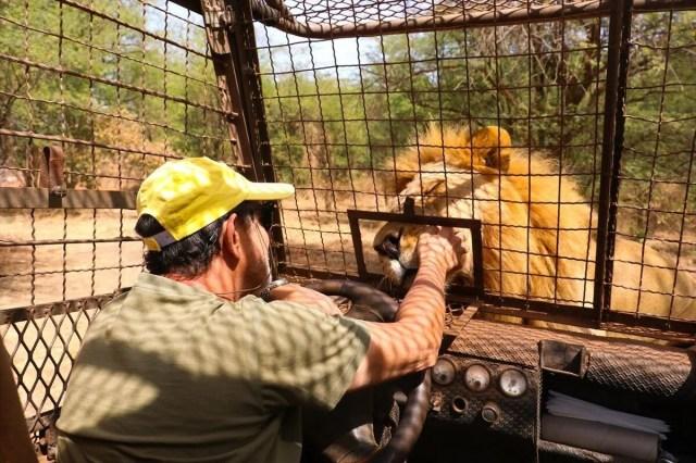 Senegal'de tehlikeli safari turu: Bu kez kafeste insanlar var - 3