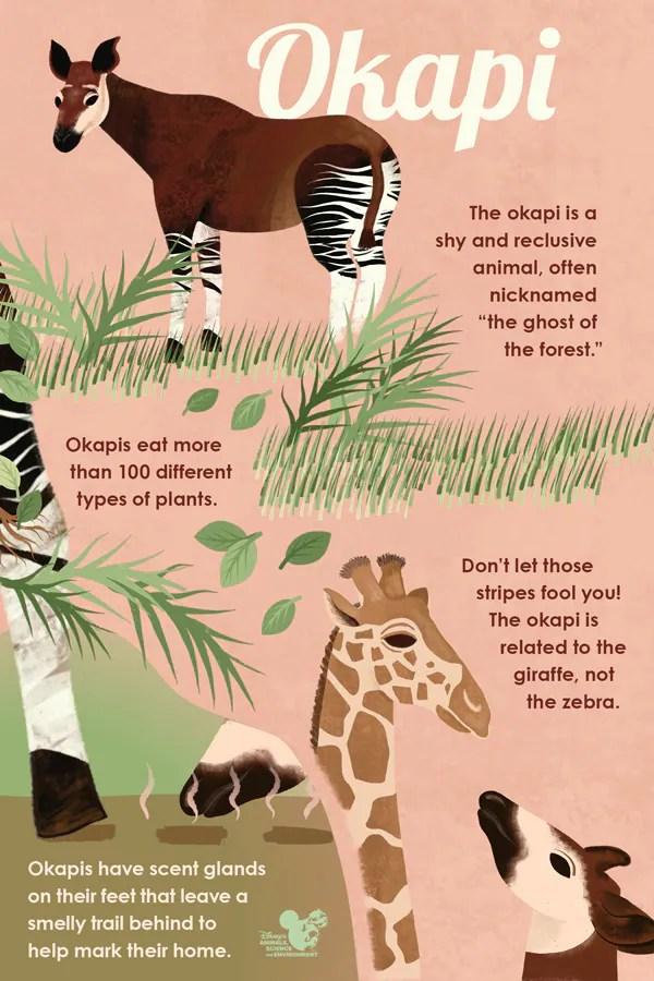 Okapi infographic