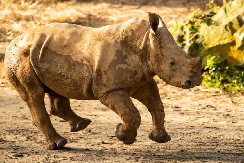 Ranger el rinoceronte