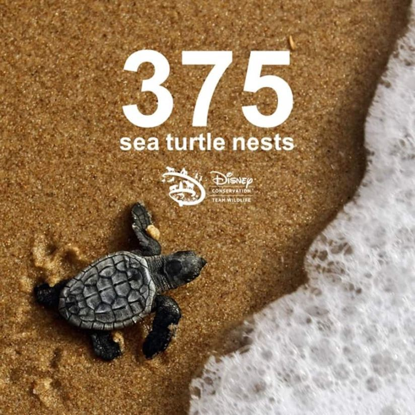 Graphic with the number of sea turtle nests at Vero Beach, FL, Rehabilitated Sea Turtles