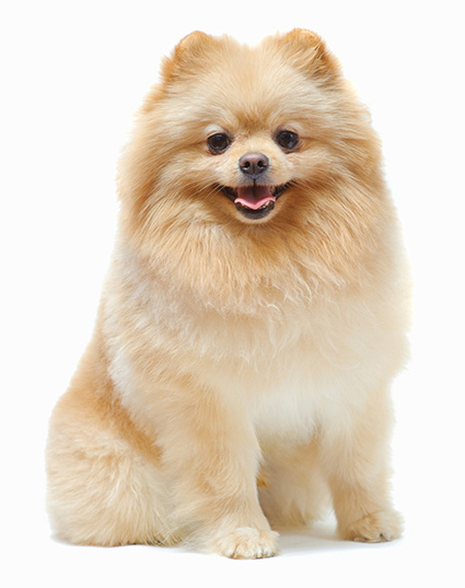 Pomeranian Cuts : pomeranian, Pomeranian, Haircut, Styles, Pictures, Diagrams, Expert, Groomer