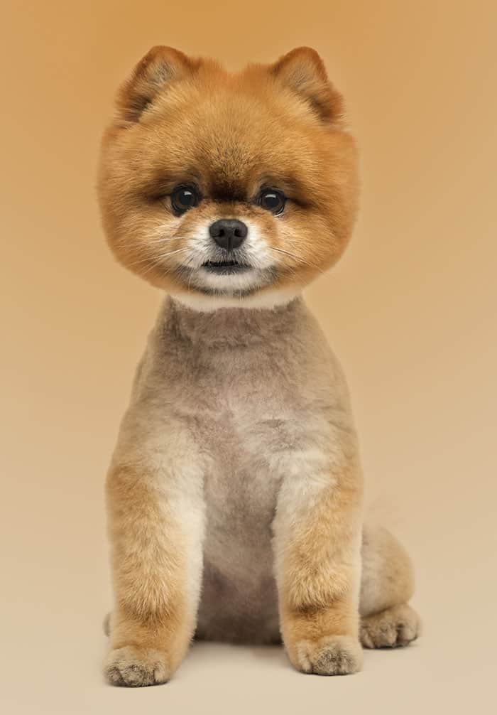 Pomeranian Lion : pomeranian, Pomeranian, Haircut, Styles, Pictures, Diagrams, Expert, Groomer