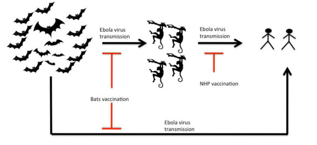 Ebola virus Disease / Ebola hemorrhagic Fever