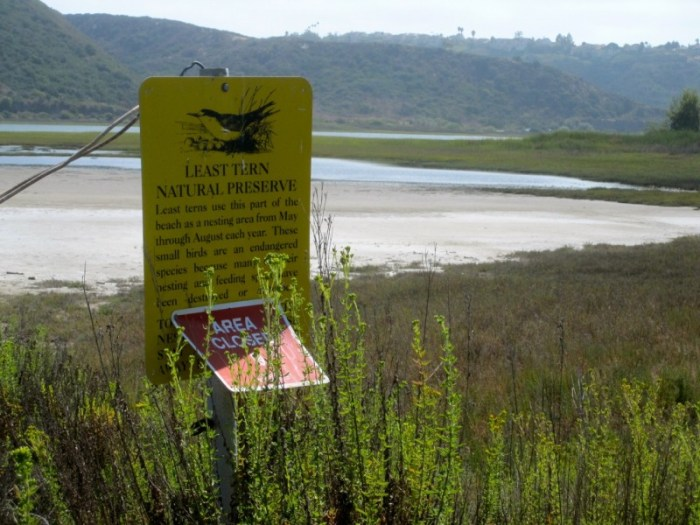 The Least Tern nests in this area at the east end of the Batiquitos Lagoon