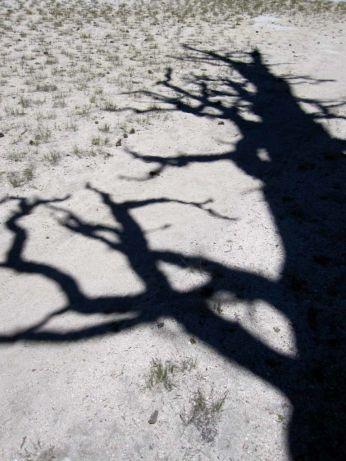 Pine Tree Shadow