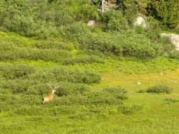 Buck at Rae Lakes