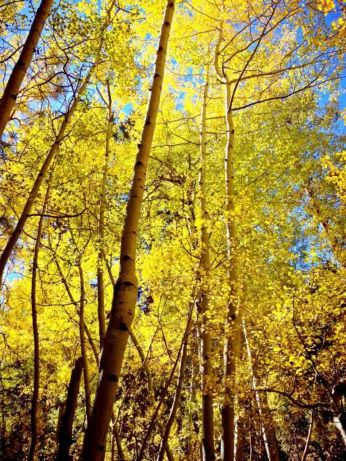 Fall Color in SoCal's Aspen Grove