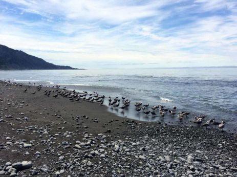 Seagulls on the Lost Coast