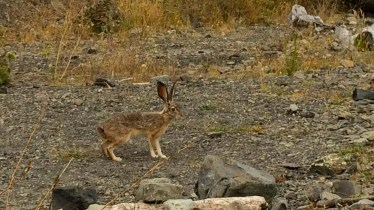 Jackrabbit on the Lost Coast Trail