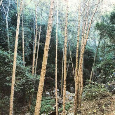 Towering Alder trees