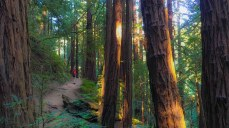 Early morning sunlight in Muir Woods