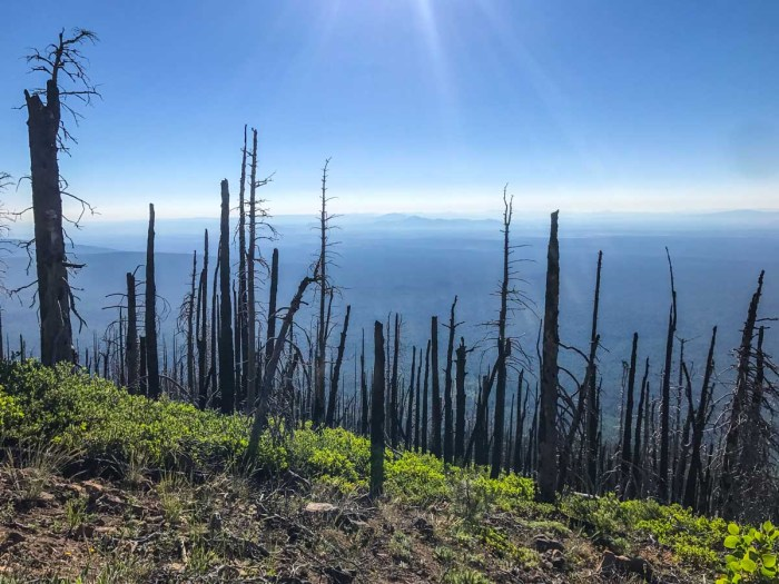 Fire-scarred trunks on the east side of Black Butte