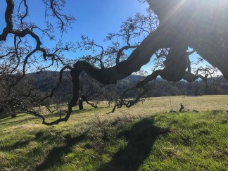 Oak Tree Stretching