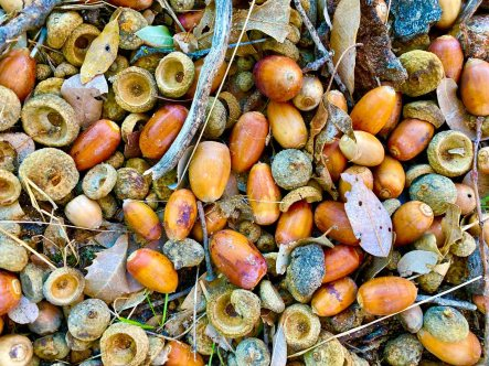Acorns on Volcan Mountain