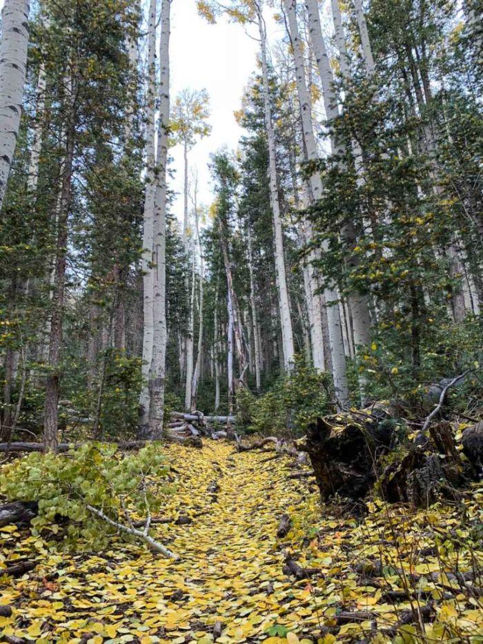 Aspen Trees on the Bill Williams Trail