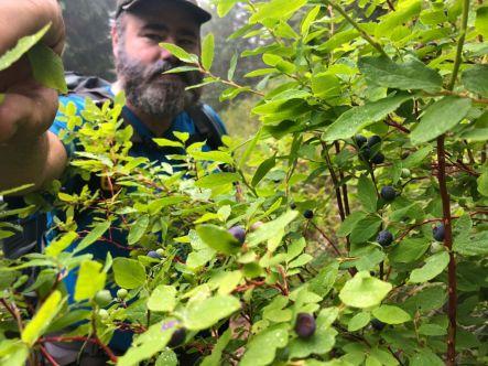 Jason harvesting blueberries on the Wonderland Trail