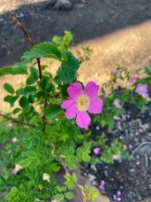 Nootka (Wild) Rose