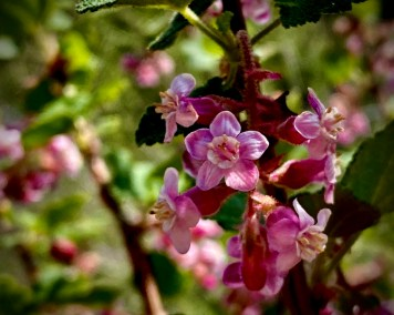 Flower-Chaparral-Current