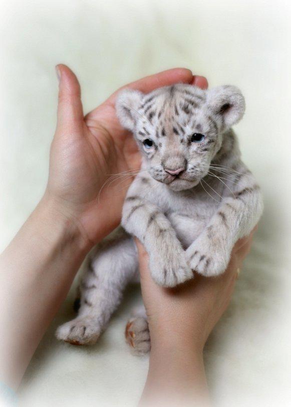 White Tiger For Sale : white, tiger, Alain, White, Tiger, Matsunyak, Tedsby