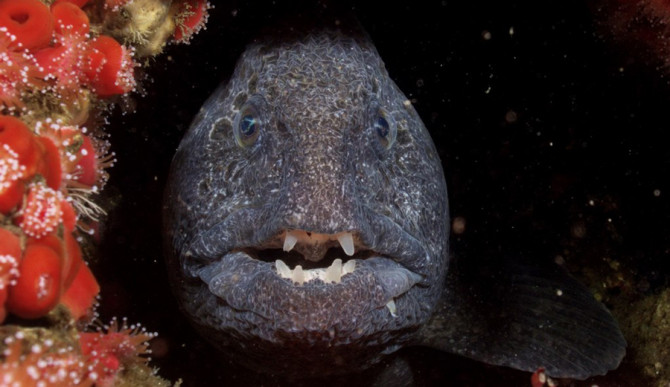 Crazy Creature of the Week Wolf Eel or Sea Honey Badger