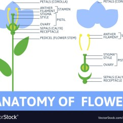 Parts Of A Flower Diagram Squier Strat Hss Wiring Detail Anatomy Royalty Free Vector Image