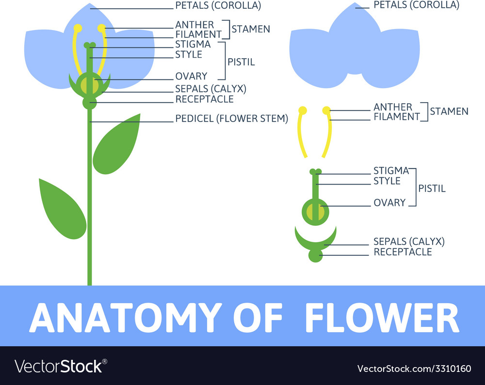 parts of a flower diagram harley breakout ignition cover detail anatomy royalty free vector image