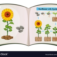 Sunflower Plant Life Cycle Diagram Jensen Interceptor Convertible Wiring Book Showing Of Vector Image